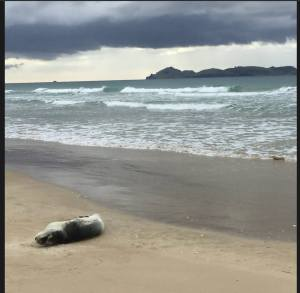 Seal on Opoutere beach