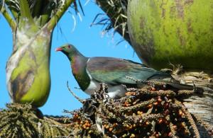 kereru / NZ wood pigeon / kukupa