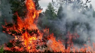 forest-fire-flames-swallow-young-pine-tree-footage-appropriate-to-visualize-wildfires-or-prescribed-burning_vxrswyvfx__S0006