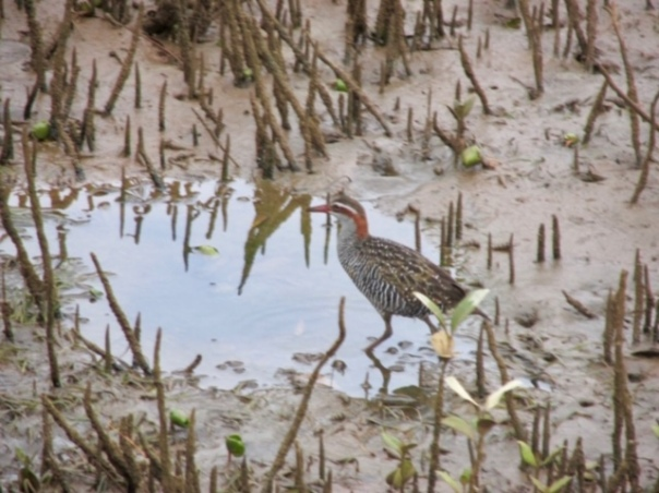 Val's banded rail